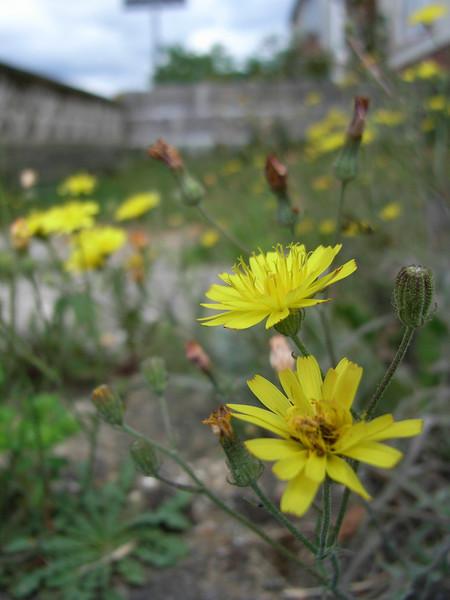 Dandelions in My Front Yard