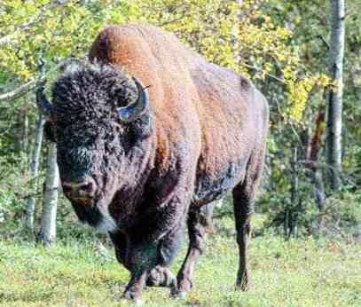 As UN downplays Wood Buffalo National Park action plan, Parks Canada responds