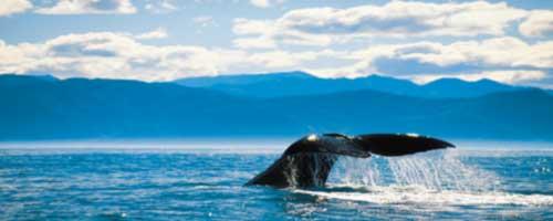 Whale tail Kaikoura