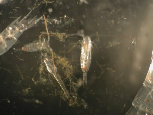 Zooplankton and Phytoplankton