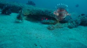 At 120 feet, the water has absorbed red, yellow and green wavelengths of light, muting the brilliant colors of these Lionfish and other reef organisms (the Lionfish in the foreground is partially illuminated by the video camera)