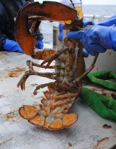 Northern Lobster