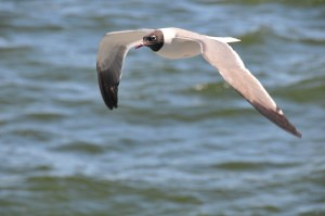 Laughing Gull flying over ocean as viewed from our ferry