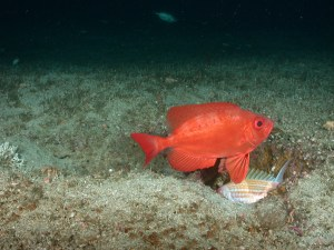 Red fish called Big Eye hovering over a rough sand bottome with a small fish below it.