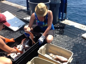 After we empty the traps we sort the fish by family. Jennifer (a scientist) and I are sorting Red Porgy in this picture.