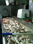 Our troughs full of the catch, waiting to be sorted