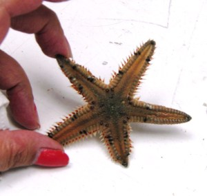 Spikey sea star