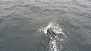 Pacific White Sided Dolphin Porpoising