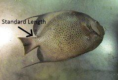 Standard length is measure from the base of the tail of the fish.