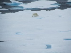 Polar Bear Walking in the distance