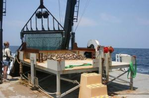 The contents of the dredge are emptied onto the sorting table.