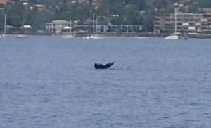 Whale fluke off Maui