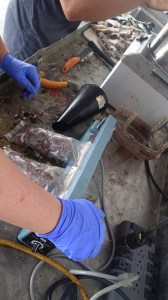 Heat-sealing the ground up squid and sardines for bait.