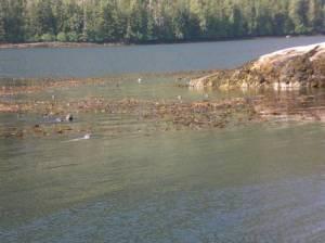 Seals swimming in kelp