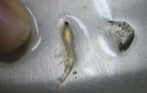 Euphausiid pictured left and Amphipod pictured right