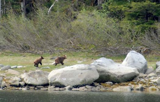 This photo of two brown bears was captured by Chief Scientist Dave Withrow as the JOHN N. COBB anchored in Gut Bay, Alaska.