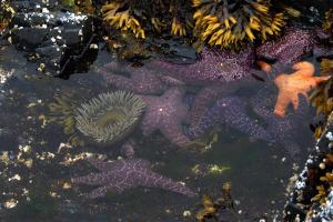 Tide pools that form among the depressions in the rocky reefs provide a habitat for a variety of invertebrates, including sea anemones, sea stars, and bryozoans.  Photo courtesy of Dave Withrow.