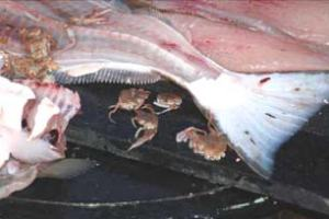 The filleted tail of the halibut and some crabs found in its stomach