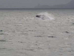 A Humpback whale breeching off the FAIRWEATHER's stern.