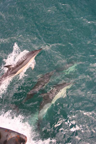 More Common Dolphins riding the bow.