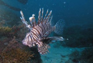 A lionfish swims in the Atlantic Ocean, not its native habitat