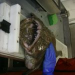20 Pound Monk Fish Being Measured for Length