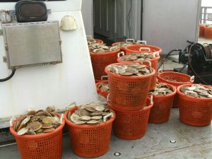 Baskets of Scallops from the Second Large Dredge of the Day