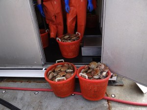 Measuring the Cumulative Weight of the Scallops