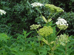 Invasive Hogweed