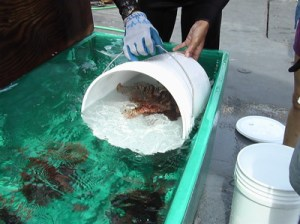 Recently collected lionfish from the ocean floor are transferred to a flow through aquarium aboard the ship.