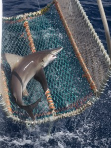 A Sandbar Shark coming up on the cradle.