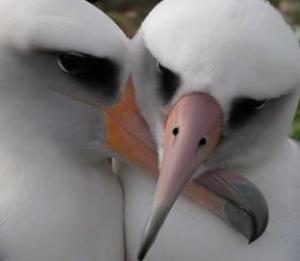 Albatross often mate for life. Photo by Maura Naughton