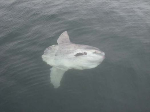 A Mola Mola, or Sun Fish. This guy was probably 6 feet in length.