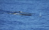 Two adult sperm whales and a calf. Photo credit: Erin Mooney
