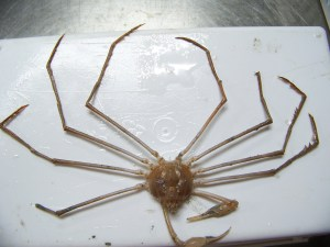 Stilt Spider Crab