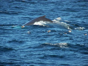 Fin back whale