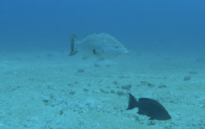 Take the poll below and vote on what type of grouper is in the middle of this photo.