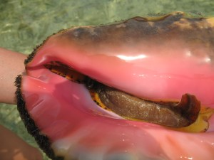 really pink conch