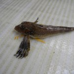 Northern Sea Robin (Prionotus caroliuns)