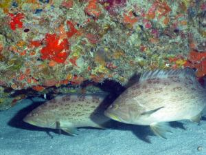 Scamps Groupers