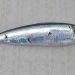Spanish sardine (Sardinella aurita)
