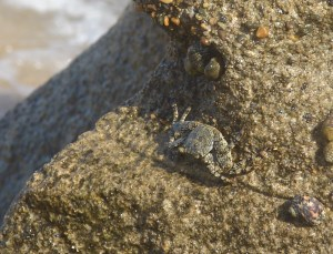 Crab on the beach of Sn Juan.  Can you classify it?