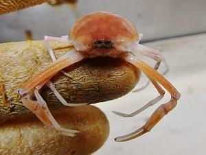 Fivespine Purse Crab (Myropsis quinquespinosa)