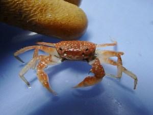 Flecked Squareback Crab (Pseudorhombila quadridentata)