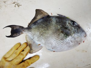 Gray Triggerfish (Balistes capriscus)