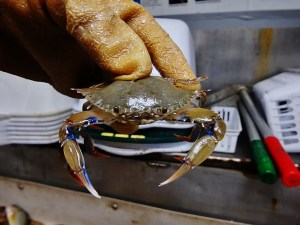 Lesster Blue Crab (Callinectes similis)