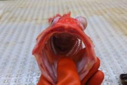 Pacific Ocean Perch (rockfish)