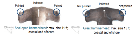 Comparison of Scalloped and Great Hammerhead Sharks