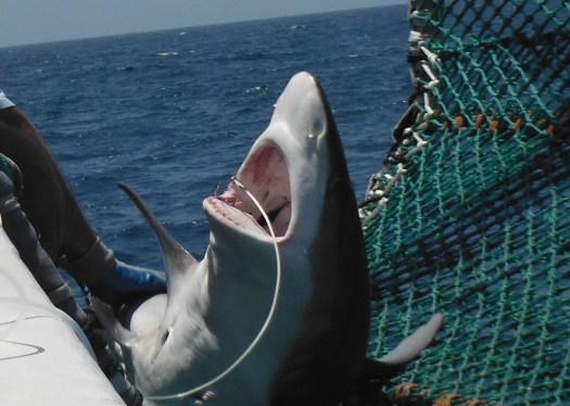 Close up of our first cradled sandbar shark.