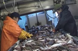 Kim and Virginia sorting fish on the conveyor belt.